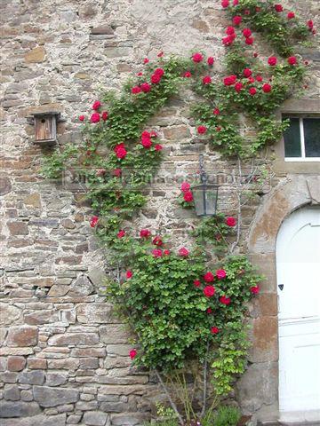 Schloss Ehreshoven rankende Pflanze